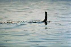 Универсальное страхование: судоходная компания застраховала корабли от нападения Лохнесского чудовища