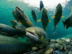 Ученые назвали употребление генетически модифицированного лосося опасным для жизни