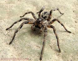 Ядовитые пауки расширяют ареал обитания на север Украины