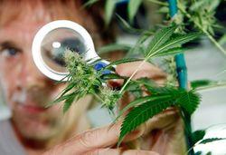 Ученые раскрыли механизм болеутоляющего воздействия марихуаны