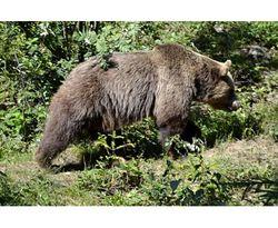 В Швейцарии застрелили единственного дикого медведя страны