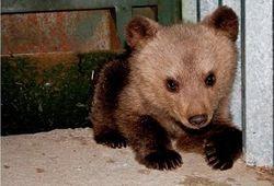 медвежонок в городе