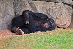 Еще одно доказательство родства: у обезьян есть кризис среднего возраста