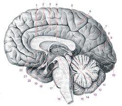 Ученые объяснили образование мозга случайными мутациями