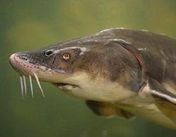 осетровая рыба