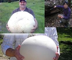 Канадец, нашедший гриб весом 26 кг, не знает, что с ним делать