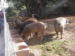 Люди, как свиньи: отличий мало