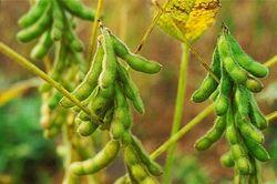 На посевы сои в Бразилии негативно влияет засуха