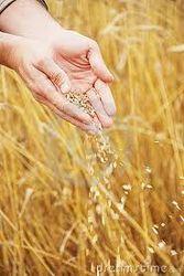 Пшеничные котировки продемонстрировали рост в пятницу