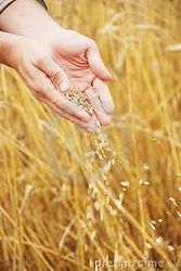 Экспорт украинского зерна составил 5,2 млн. тонн