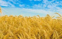 На тендерах фиксируется повышенное внимание Японии к пшенице