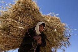 Пшеница из нового индийского урожая уже на импорте