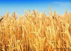 Рынок пшеницы: прогноз по урожаю в Великобритании снижен
