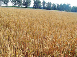 Производство пшеницы в Великобритании сократится предположительно на 0,4 процент