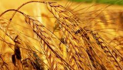 Индия: Минимальная закупочная стоимость пшеницы будет поднята