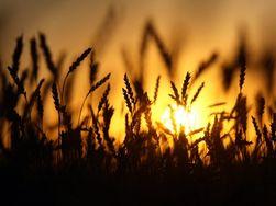 Американская пшеница 4 января пошла вниз, а за ней и европейская