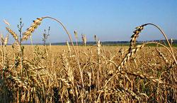 К концу текущего сезона парижская биржа не ждёт высокой стоимости пшеницы