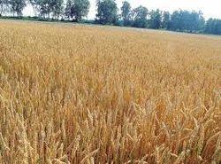 В 2012 году производство пшеницы в Японии выросло на 15 процентов
