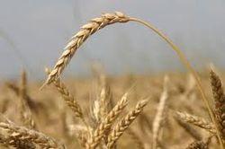 Американская и французская пшеница в конце недели поднялась, а соя упала