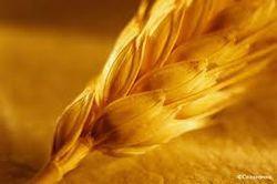 После рекордного роста стоимость российского зерна пошла вниз
