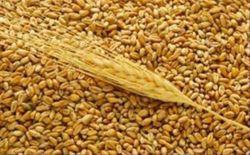 Пшеница 3 кл. на российских торгах упала на 1 процент, а 4 кл. на 1 процент подорожал
