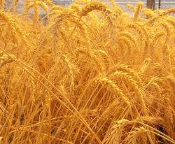 Пшеница в России за полгода более чем на 50 процентов подорожала
