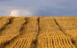 IGC: запасы российской пшеницы сократятся в 2012-2013 МГ до 5,6 млн. тонн