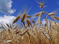 Показатель намолоченного зерна в России на 1 ноября меньше прошлогоднего