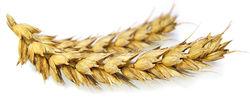 IGC: мировое производство пшеницы повышено на 2,2 млн. тонн на 2013-2014 МГ