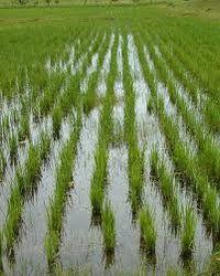 Урожай американского риса в 2012-2013 МГ будет на уровне 6,4 млн. тонн