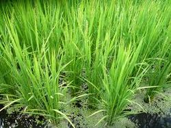 Таиланд сокращает поставки риса, но дефицита не будет