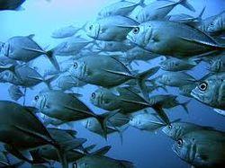 У берегов Фукусимы радиация у рыбы превышает фон в тысячи раз