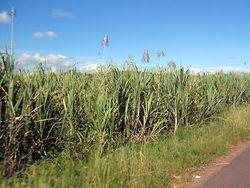 Переработка урожая сахарного тростника в Бразилии идёт полным ходом