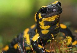 Ученые хотят создать неуязвимого человека-саламандру