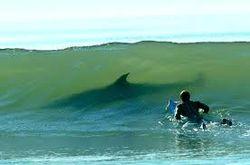 Акулы - нередкий спутник сёрферов