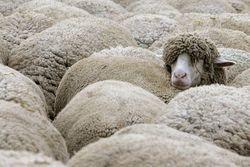 Овцы инстинктивно жмутся друг к другу