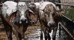 рогатый скот