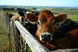 На рынке живого рогатого скота действуют смешанные принципы
