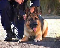 Служебных собак научили вынюхивать… внутрибольничные инфекции