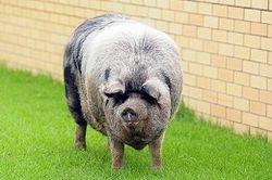 донорские свиньи