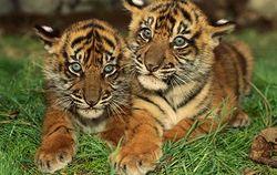 Международный день тигра: ученые бьют тревогу – животные исчезают