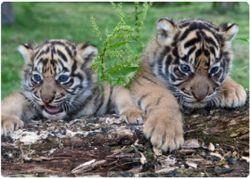 суматранские тигрята