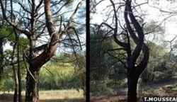 Ученые увидели мутацию деревьев в зоне ЧАЭС