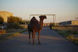 верблюд на улице