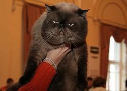 В Вильнюс съехались лучшие кошки планеты