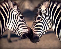 Нобель или Шнобель: ученые открыли почему зебры в полоску