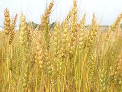 Рекордный урожай зерновых в Украине: стоит ли ожидать падения цен на хлеб