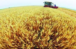Украинских трейдеров устроит запрет на экспорт пшеницы
