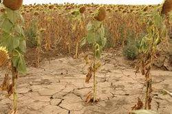 Итоги недели: цены на кукурузу и пшеницу остыли только в пятницу