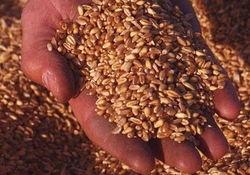 Санкции не работают: Иран активно импортирует пшеницу